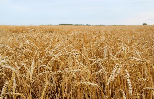 Gouden tarweveld en blauwe lucht