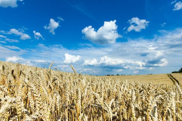 Gouden tarweveld en zonnige dag Premium Foto