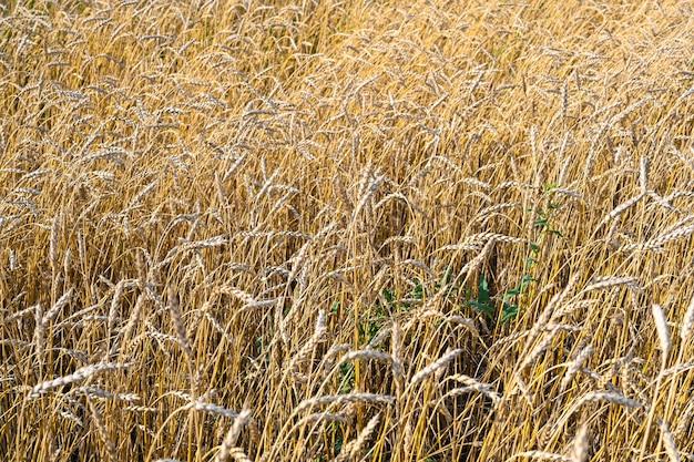 Gouden tarweveld in de hete zonnige zomerdag. gebied van rijpende rogge in een zomerdag. rogge oren close-up.