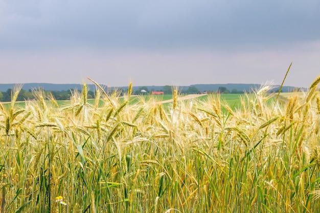 Gouden tarweveld met bewolkte hemel