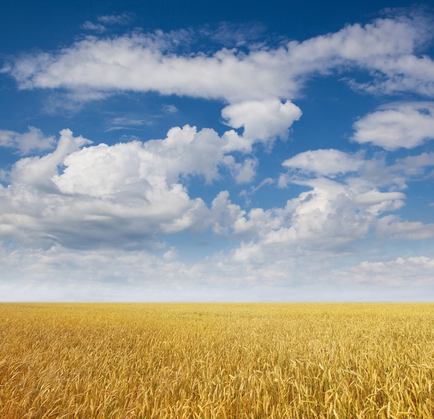 Gouden tarweveld met blauwe hemel
