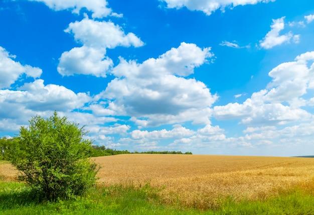 Gouden tarweveld met blauwe lucht en wolken. agrarisch landschap.