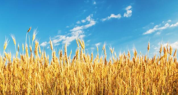 Gouden tarweveld onder een blauwe hemel.