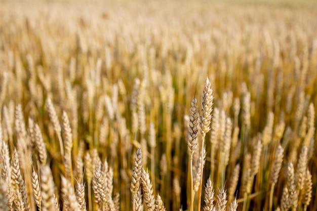 Gouden tarweveld. prachtige natuur zonsondergang landschap. achtergrond van rijpende oren van weidetarweveld. concept van grote oogst en productieve zaadindustrie.