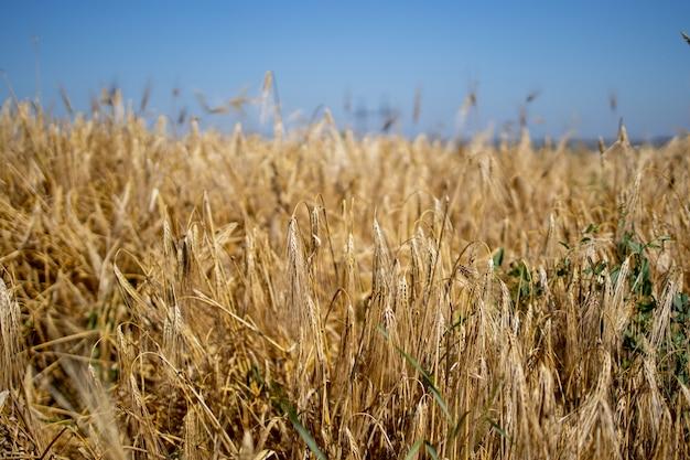 Gouden tarweveld. prachtige natuur zonsondergang landschap. rijpende oren van weide tarweveld. concept van grote oogst en productieve zaadindustrie.