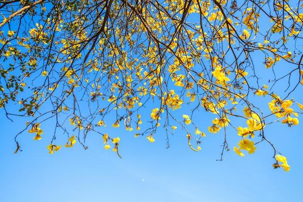 Gouden trompetboom bij park binnen op blauwe hemelachtergrond.