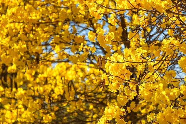 Gouden trompetboom bij park