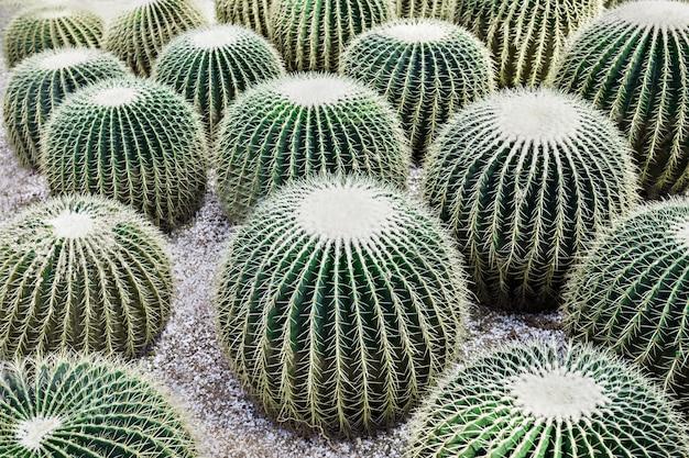 Gouden vat cactus