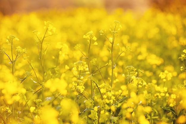 Gouden veld, met kleine bloemen, gele planten van de natuur