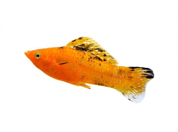 Gouden vis geïsoleerd op wit