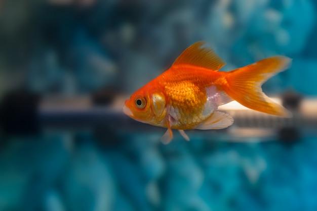 Gouden vis geïsoleerd