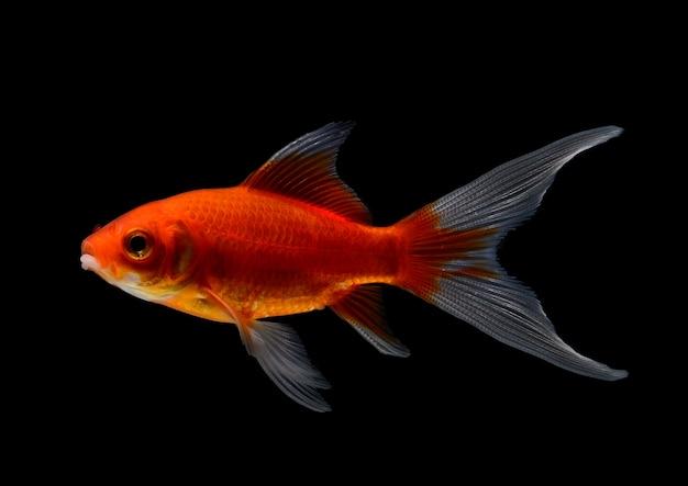 Gouden vissen die op zwarte ruimte worden geïsoleerd