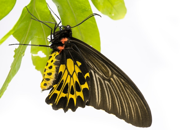 Gouden vogelvleugelvlinder op wit, gouden vogelvleugelvlinder neergestreken op een blad in het regenwoud. kan gemakkelijk in azië worden gevonden.