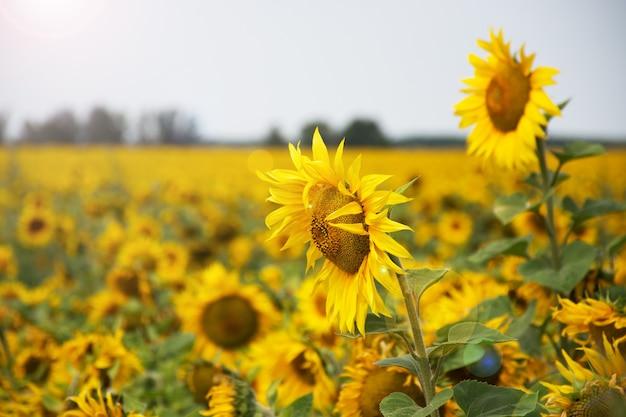 Gouden zonnebloemen veld op felle zonlicht achtergrond