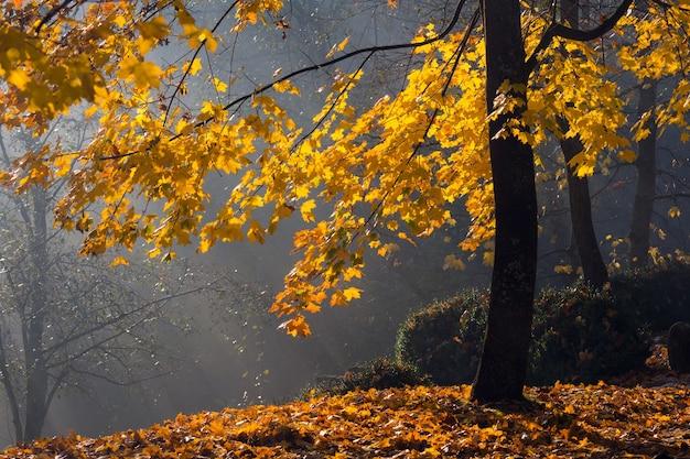 Gouden zonnestralen dringen door de bomen op vroege, mistige herfstochtend.
