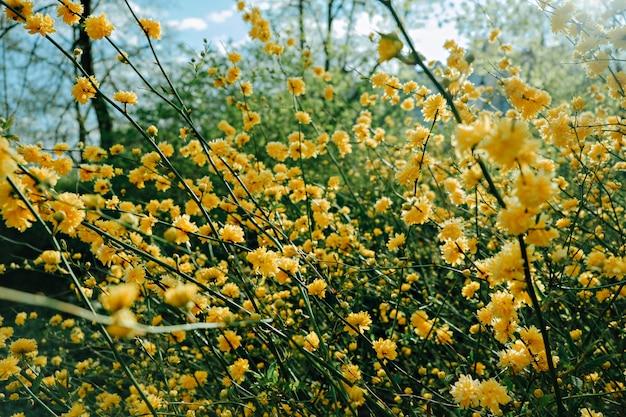 Goudgele bloemenstruik in de lente. japanse goudsbloembos, kerria japonica