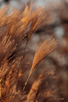 Goudgele pampas close-up, neutrale textuur.