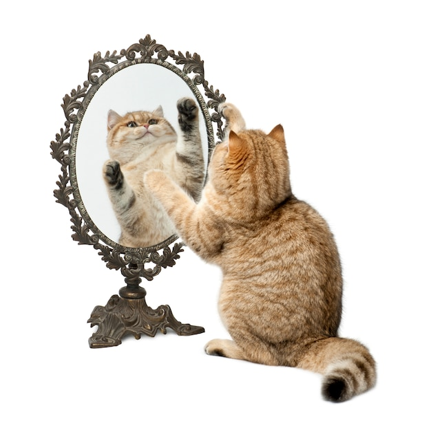 Goudkleurige britse korthaar, 7 maanden oud, spelend met spiegel