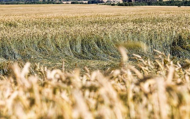 Goudkleurige granen die al rijp zijn en klaar om graan te oogsten