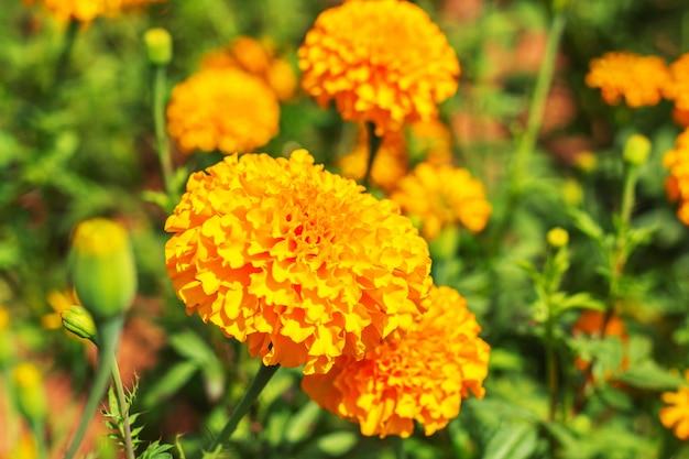 Goudsbloem met levendige kleuren op het veld