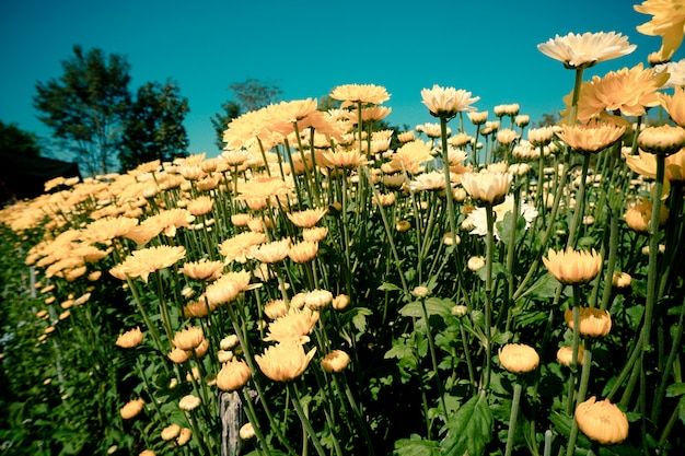 Goudsbloembloem of calendula met blad op groene natuurlijke de zomerachtergrond - calendula-de installatie van het bloemgebied