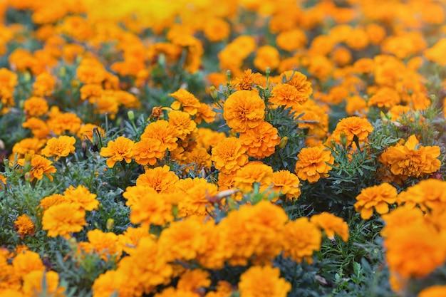 Goudsbloembloemen bij de tuin