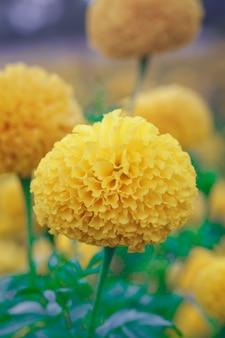 Goudsbloembloemen in het tuinonduidelijke beeld