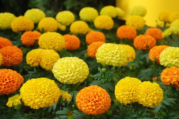 Goudsbloemen gemengde kleur (tagetes erecta, mexicaanse goudsbloem)