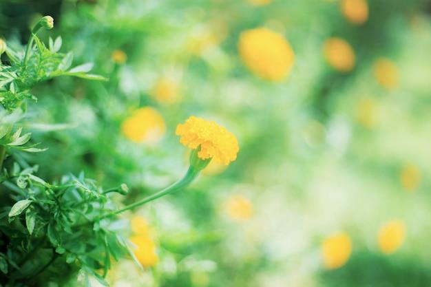 Goudsbloemen op plantage met zonlicht.