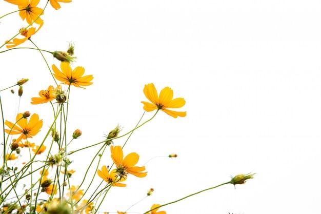 Goudsbloemen op witte achtergrond isoleren