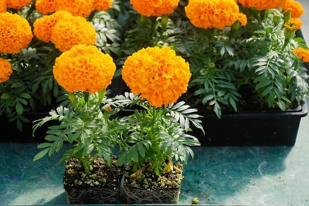Goudsbloemen oranje kleur (tagetes erecta, mexicaanse goudsbloem, azteekse goudsbloem, afrikaanse goudsbloem), goudsbloem potplant met wortels