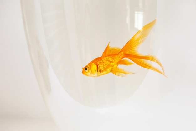 Goudvis die in een vissenkom zwemt