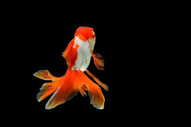 Goudvis geïsoleerd op een donkere zwarte achtergrond verschillende kleurrijke carassius auratus in het aquarium