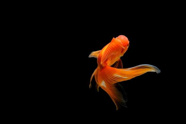 Goudvis geïsoleerd op een donkere zwarte achtergrond. verschillende kleurrijke carassius auratus in het aquarium