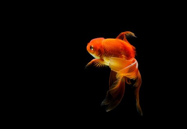 Goudvis geïsoleerd op een donkere zwarte ruimte. verschillende kleurrijke carassius auratus in het aquarium