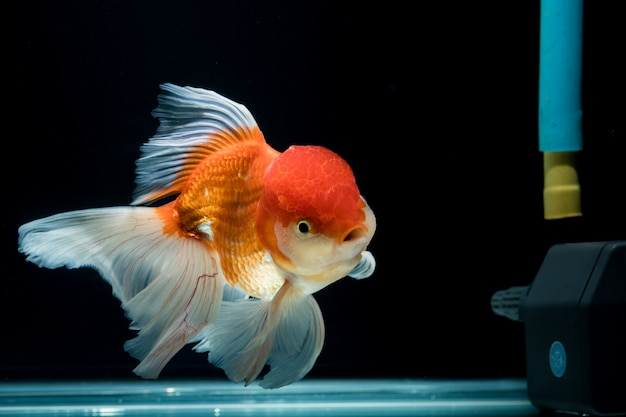 Goudvis in een aquarium