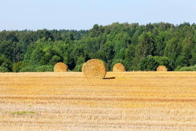 Graan oogsten in het veld. stro na het maaien van tarwe wordt geoogst voor gebruik in de veehouderij