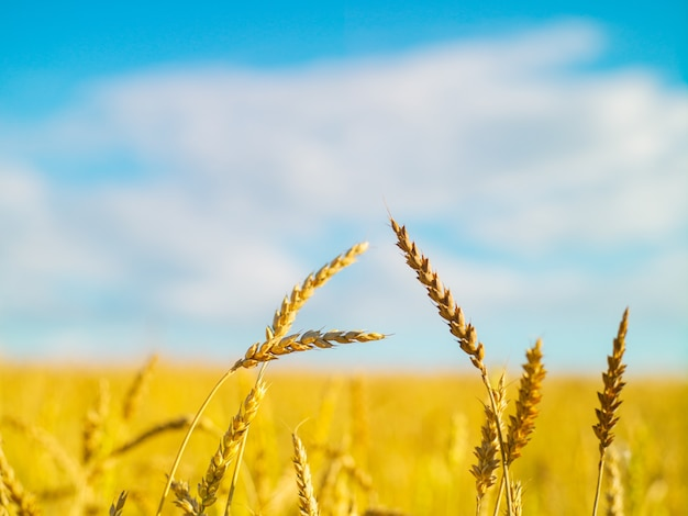 Graan veld verse oogst blauwe hemel met wolken zonnige dag zomer natuurlijke oppervlakte landschap Premium Foto