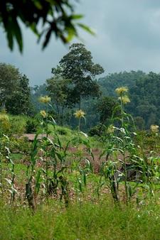 Graangebied, chiang dao, chiang mai province, thailand