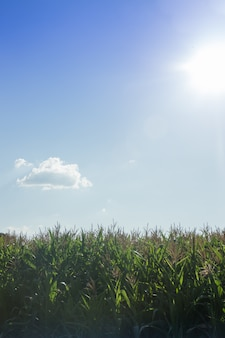 Graangebied met blauwe hemel