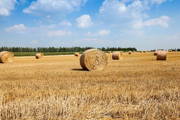Graanoogst, zomer - landbouwveld waar het oogsten graan wordt uitgevoerd, wit-rusland, zomer