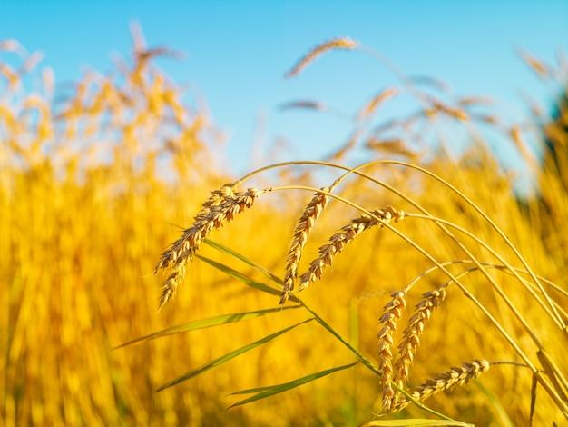 Graanveld, geel, verse oogst, blauwe lucht met wolken, zonnige dag, zomer natuurlijke achtergrond, landschap