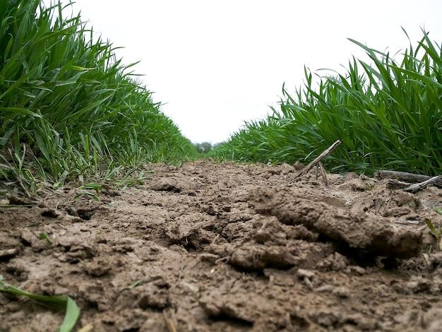 Graanveld in een geploegd veld. laag bij de grond gefotografeerd, close-up tussen rijen opkomende geplante planten