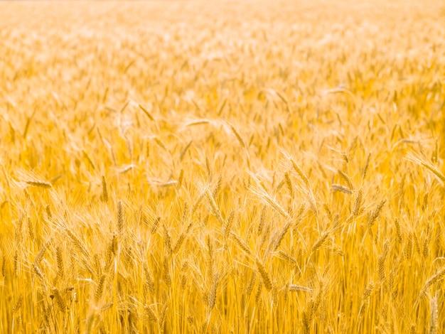 Graanveld zomer natuurlijk oppervlak Premium Foto