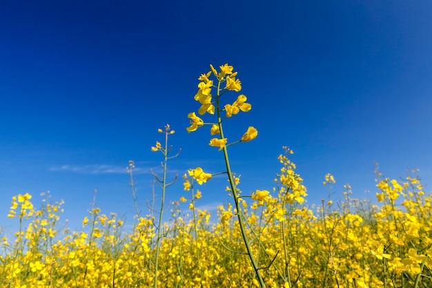 Grafische close-up gele bloem van verkrachting groeit in een landbouwgebied