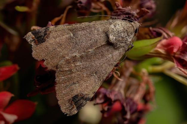 Grafische owlet moth van het geslacht melipotis in een bloeiende plant
