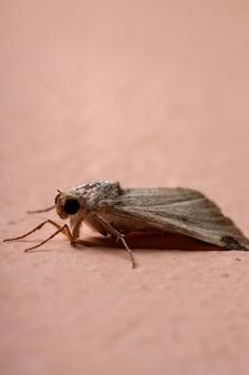 Grafische owlet moth van het geslacht melipotis