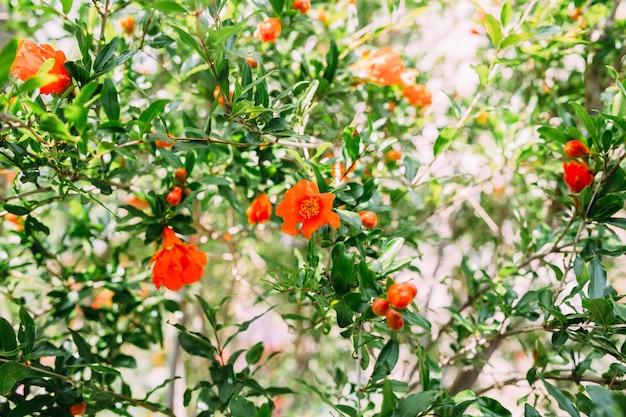 Granaatappel granaat fruit bloem verse granaat bloem op gebladerte achtergrond