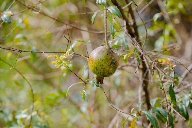 Granaatappel op boom in mijn tuin