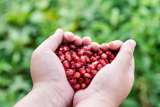 Granaatappel rode zaden in handen op natuur achtergrond.